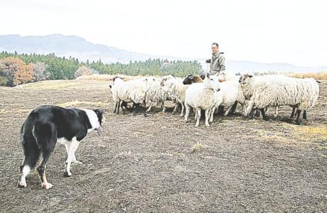 羊飼いの武井さんの合図・コマンドで動くゲイリー