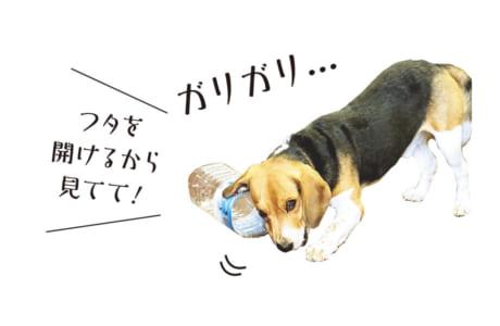 【犬種】ビーグル