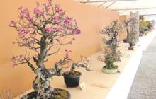 画像:第16回 玉名盆梅展