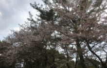 画像:水前寺に葉桜参り(熊本大学新聞社)