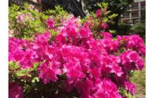 画像:校内のツツジが綺麗に咲いています【熊本大学新聞社】