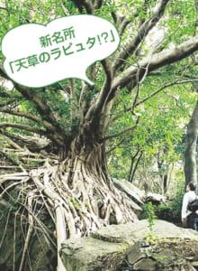 西平椿公園のアコウの木