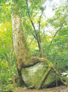 樹齢約300年の「包岩槻(ほうがんけやき)」。人の身長を超えるほどの大きな岩をまたいで成長している姿に圧倒されます。岩のコケから取れる水分と養分を糧に成長してきたといわれ、強い生命力を感じることができます