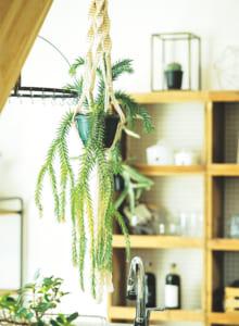 使用植物/フペルジア