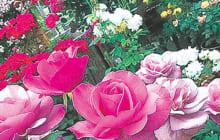 画像:阿蘇、春のバラまつり