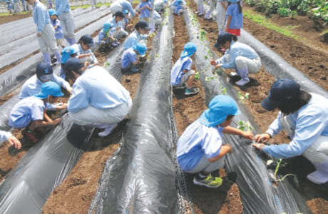熊本農高生とサツマイモの苗植えに一生懸命取り組む園児たち