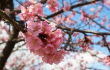 画像:河津桜で感じた春の訪れ