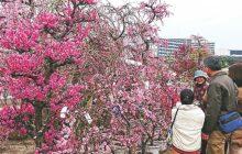 画像:くまもと春の植木市